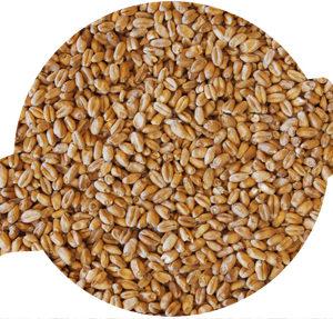 Solstice Pale Wheat